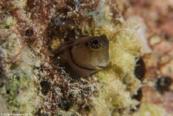 Little Combtooth blenny by Kyle Castelyn