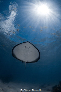 """""""Ray Under Rays"""" Since the Ray's are so used to snorkele... by Chase Darnell"""