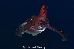 Flamboyant Cuttlefish swimming in mid-water by Daniel Geary