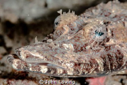 Crocodile fish by John Loving