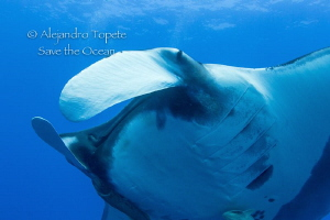 Mantaray looking me, Socorro Mexico by Alejandro Topete