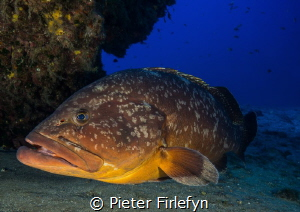 The guard , Large grouper! by Pieter Firlefyn