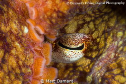 Peek a boo! A close up of a Ruby Red Octopus as it uses i... by Marc Damant
