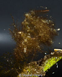 Hairy Shrimp with Eggs by Daniel Geary