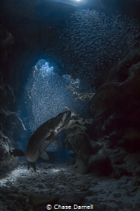 """""""First to the Scene"""" The Silversides have been sporadic ... by Chase Darnell"""