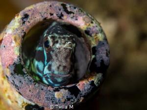 Blenny divesite:Bianca, Diving, duskdive, Indonesia, Lem... by Twila M
