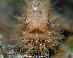Hairy Frogfish shot at f/2.8 by Daniel Geary