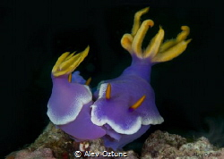 Mates nudibranchias in Anilao by Alev Oztunc