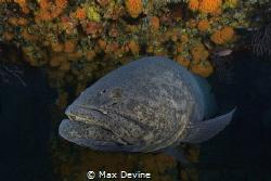 Goliath Grouper shot in West Palm Beach, Florida by Max Devine