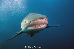 Smiling Shark by Alev Oztunc