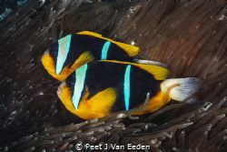 Guess who is the female? They start life as males and may... by Peet J Van Eeden
