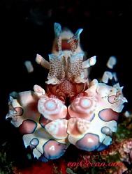 The beautiful and rare Harlequin shrimp by Mario Esposito