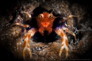 H O L E  Olivar's Squat Lobster (Munida olivarae) Macta... by Irwin Ang
