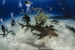 Divers photograph sharks in the clear blue water of the B... by Steven Anderson