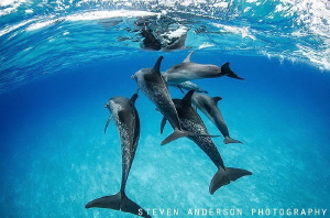 Dolphins play by morning in our wake in the clear blue wa... by Steven Anderson
