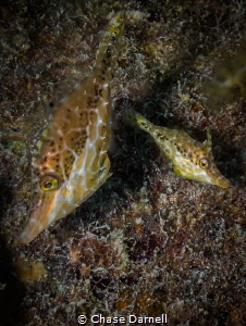 """""""The Big and the Little"""" A pair of Slender File Fish cau... by Chase Darnell"""