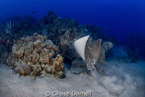 """""""Lift Off"""" A Spotted Eagle Ray propels itself up and ove... by Chase Darnell"""