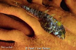 I spotted a blue spotted klipfish by Peet J Van Eeden