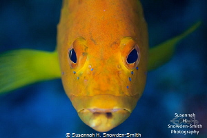 """""""Golden Portrait"""" A rare golden coney. No filters used: ... by Susannah H. Snowden-Smith"""