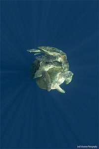 A ball in rays Mating Turtles by Iyad Suleyman