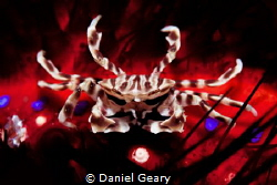 zebra crab - dauin, philippines by Daniel Geary