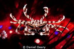 zebra crab - dauin, philippines by Daniel Geary