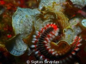 Fireworm by Sigitas Sirvydas