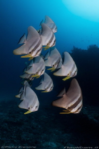 School of batifish by Pietro Cremone