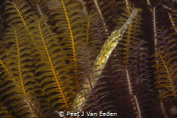 A different seahorse- longsnout pipefish in eelgrass by Peet J Van Eeden
