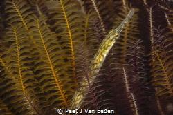 A different seahorse- longsnout pipefish in eelgrass by Peet J Van Eeden