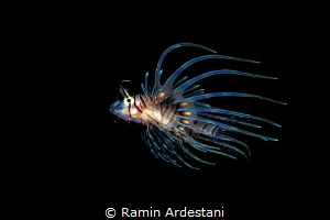 LION FISH by Ramin Ardestani