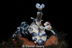 Harlequin Shrimp - Dauin, Philippines by Daniel Geary