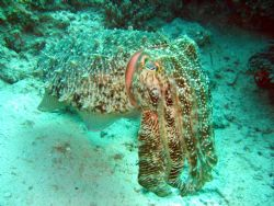 Cuttlefish taken at Mabul Island, East Malaysia by Dennis Siau