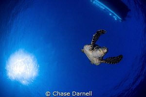 """""""Full Extension"""" A large Hawksbill Turtle extends his fi... by Chase Darnell"""