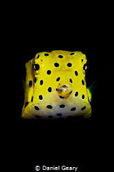 juvenile yellow boxfish - dauin, philippines by Daniel Geary