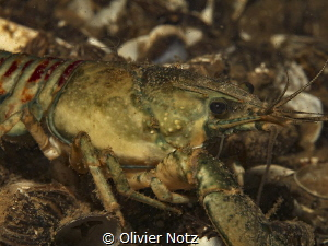 Orconectes limosus / a species of crayfish in the family ... by Olivier Notz