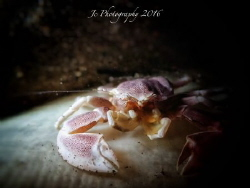Anemone porcelaincrab by Khow Jin Chee