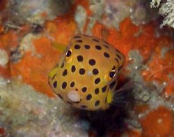 Cute wee boxfish by Gordana Zdjelar