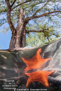 I found this starfish climbing over mangrove tree roots. ... by Susannah H. Snowden-Smith