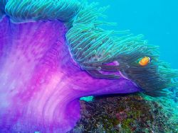 Purple anemone by Charly Founes