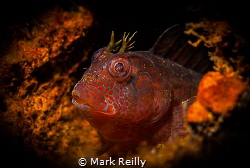 A small blenny on the lena wreck by Mark Reilly