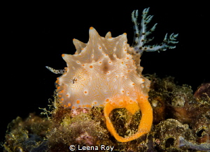 Nudibranch producing eggs by Leena Roy