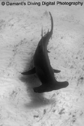 Giants Below! A Great Atlantic Hammerhead glides above th... by Marc Damant
