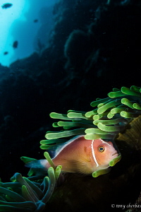 Taking shelter down the wall: A Skunk Anemone fish seeks ... by Tony Cherbas