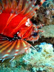 Common lionfish shying away from the camera. Beautiful di... by Lillian Khoo