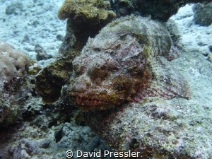 Poisonous Rock Fish by David Pressler