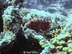 Red fish looking proud by Karl Kühn