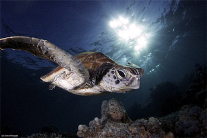Turtle from Sipadan Island by Iyad Suleyman