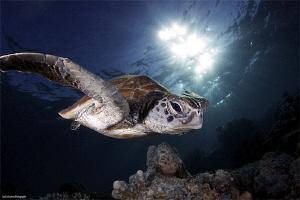 Turtle from Sipadan Island by Iyad Suleyman