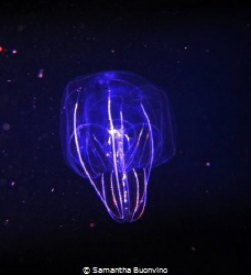 A beautiful ctenophora (comb jelly), on a black water nig... by Samantha Buonvino